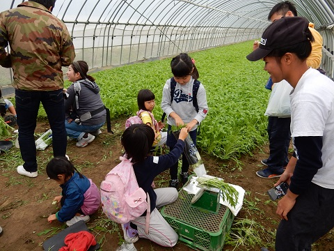 010 ミズナの収穫体験